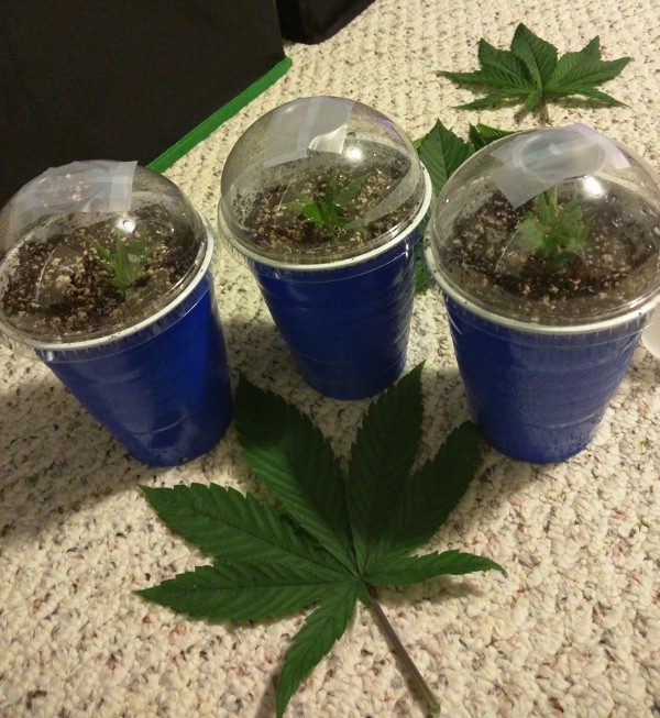 Three clones!  If these all take, I will have hit maximum-plant