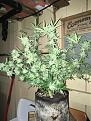 Northern lightsx Big Bud never got very tall from seed, but she sure has made up for it with buds.